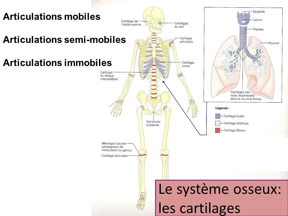 Le système osseux: les cartilages Articulations mobiles Articulations semi-mobiles Articulations immobiles