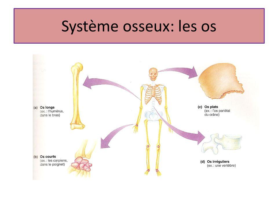 Système osseux: les os