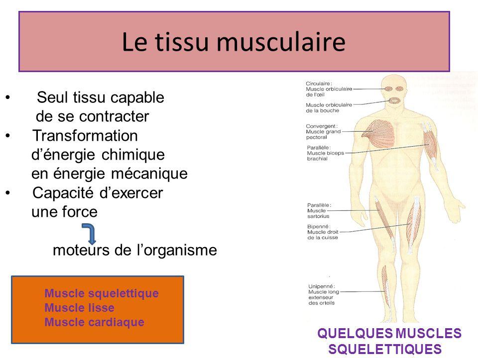 Le tissu musculaire Seul tissu capable de se contracter Transformation dénergie chimique en énergie mécanique Capacité dexercer une force moteurs de l