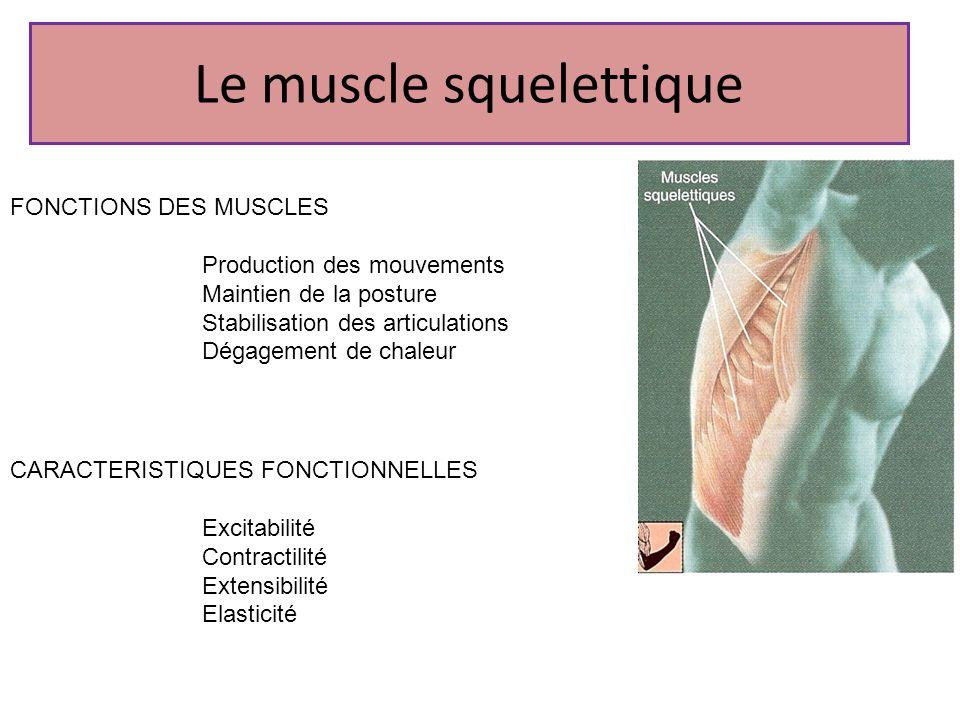 Le muscle squelettique FONCTIONS DES MUSCLES Production des mouvements Maintien de la posture Stabilisation des articulations Dégagement de chaleur CA
