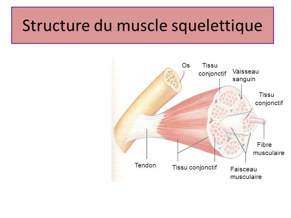 Structure du muscle squelettique Tissu conjonctif Os Vaisseau sanguin Tissu conjonctif Fibre musculaire Faisceau musculaire Tendon