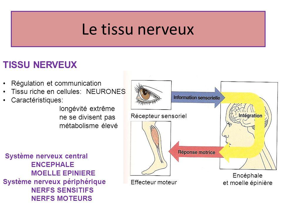 Le tissu nerveux Système nerveux central ENCEPHALE MOELLE EPINIERE Système nerveux périphérique NERFS SENSITIFS NERFS MOTEURS TISSU NERVEUX Régulation