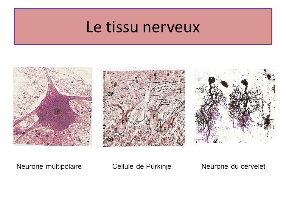 Le tissu nerveux Neurone multipolaireCellule de PurkinjeNeurone du cervelet