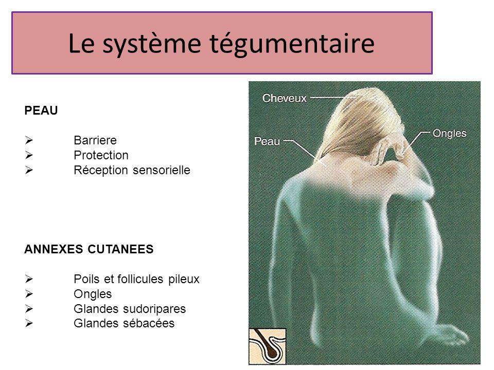 Le système tégumentaire PEAU Barriere Protection Réception sensorielle ANNEXES CUTANEES Poils et follicules pileux Ongles Glandes sudoripares Glandes