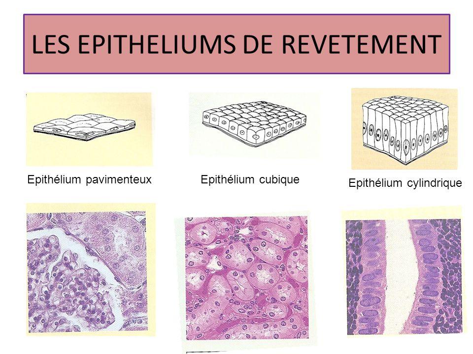 LES EPITHELIUMS DE REVETEMENT Epithélium pavimenteuxEpithélium cubique Epithélium cylindrique