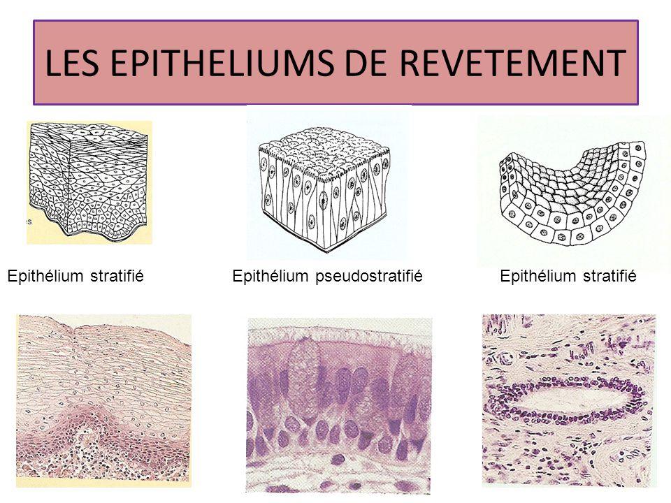 Les tissus de soutien Tissu conjonctif lâche Tissu conjonctif dense à fibres non orientées Tissu conjonctif dense à fibres orientées