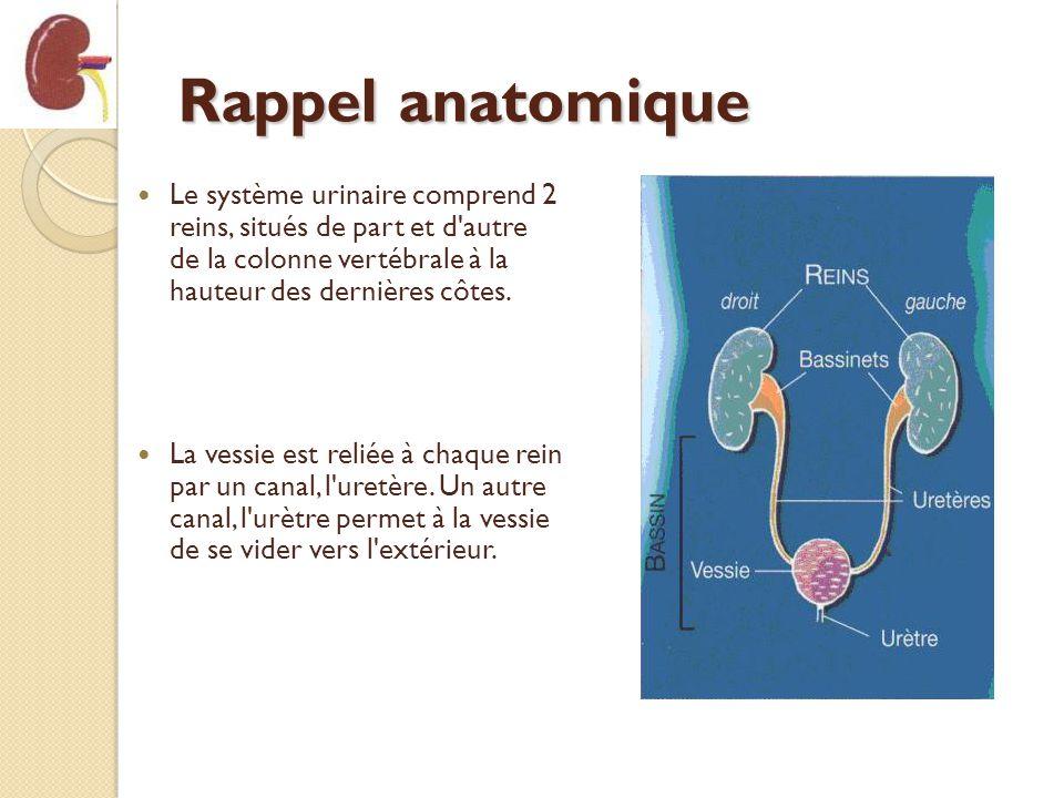 Rappel anatomique Le système urinaire comprend 2 reins, situés de part et d'autre de la colonne vertébrale à la hauteur des dernières côtes. La vessie