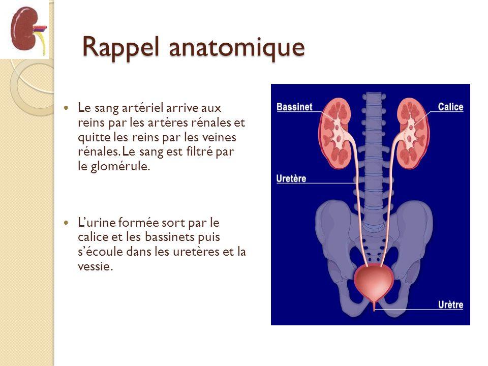 Rappel anatomique Le sang artériel arrive aux reins par les artères rénales et quitte les reins par les veines rénales. Le sang est filtré par le glom