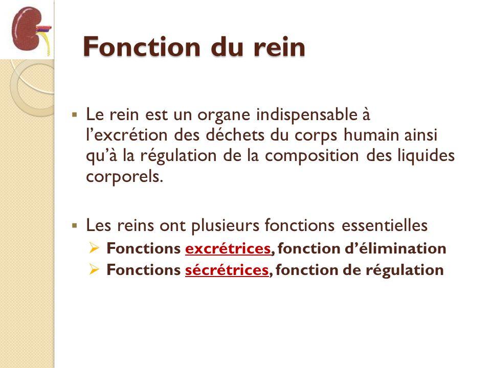 Fonction du rein Le rein est un organe indispensable à lexcrétion des déchets du corps humain ainsi quà la régulation de la composition des liquides c