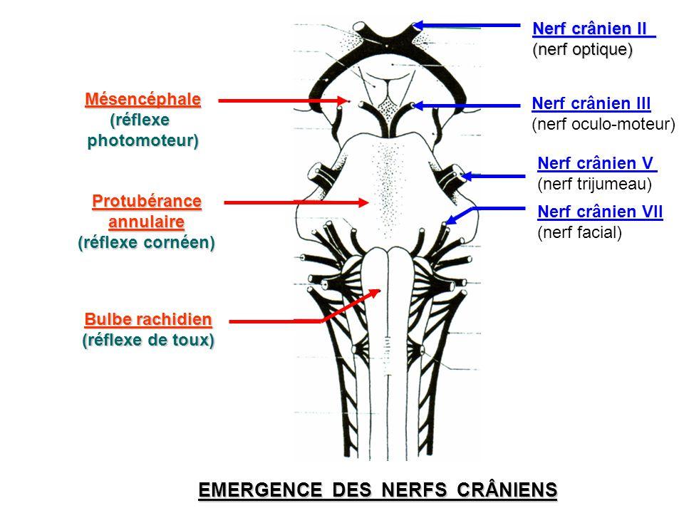 Protubérance Protubérance annulaire annulaire (réflexe cornéen) (réflexe cornéen) Bulbe rachidien (réflexe de toux) EMERGENCE DES NERFS CRÂNIENS Nerf