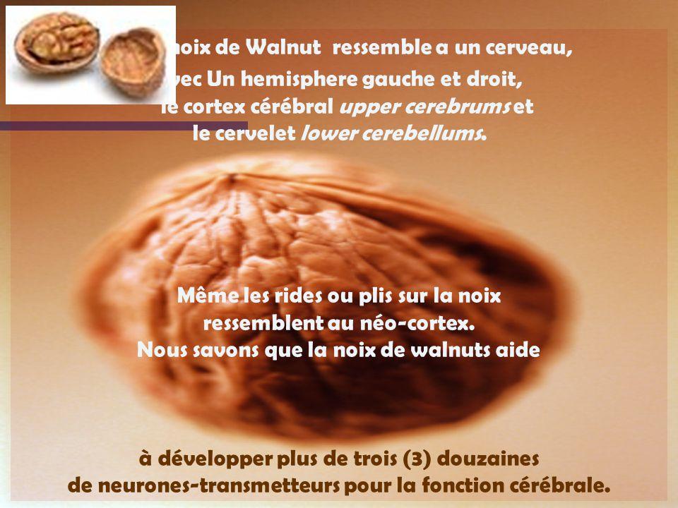 Une noix de Walnut ressemble a un cerveau, avec Un hemisphere gauche et droit, le cortex cérébral upper cerebrums et le cervelet lower cerebellums.