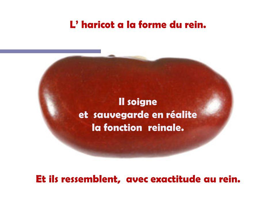 L haricot a la forme du rein.Il soigne et sauvegarde en réalite la fonction reinale.