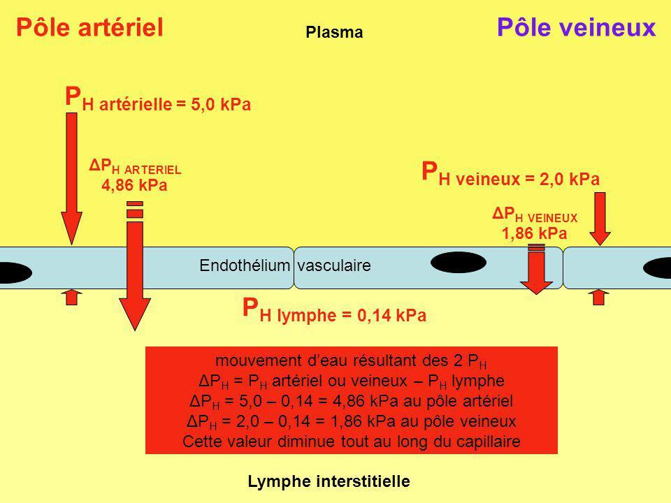 Plasma Lymphe interstitielle Pôle artériel mouvement deau résultant des 2 P H ΔP H = P H artériel ou veineux – P H lymphe ΔP H = 5,0 – 0,14 = 4,86 kPa au pôle artériel ΔP H = 2,0 – 0,14 = 1,86 kPa au pôle veineux Cette valeur diminue tout au long du capillaire Pôle veineux Endothélium vasculaire P H artérielle = 5,0 kPa P H lymphe = 0,14 kPa P H veineux = 2,0 kPa ΔP H VEINEUX 1,86 kPa ΔP H ARTERIEL 4,86 kPa
