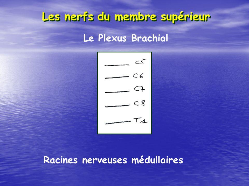 Les nerfs du membre supérieur Racines nerveuses médullaires Le Plexus Brachial