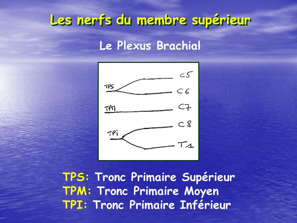 Les nerfs du membre supérieur TPS: Tronc Primaire Supérieur TPM: Tronc Primaire Moyen TPI: Tronc Primaire Inférieur Le Plexus Brachial