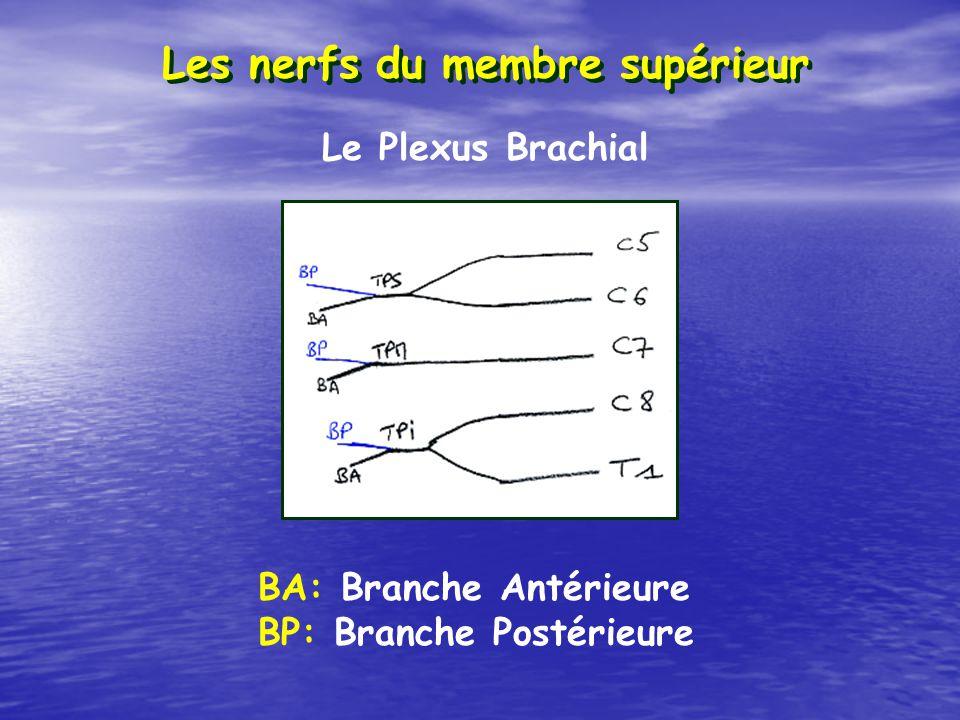 Les nerfs du membre supérieur BA: Branche Antérieure BP: Branche Postérieure Le Plexus Brachial