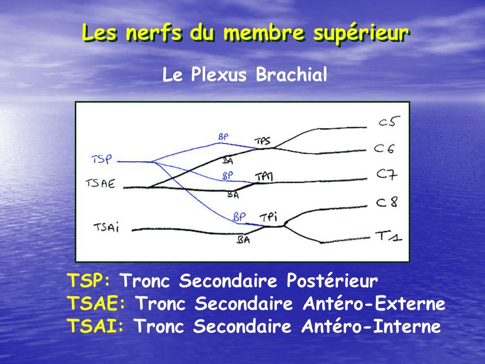 Les nerfs du membre supérieur TSP: Tronc Secondaire Postérieur TSAE: Tronc Secondaire Antéro-Externe TSAI: Tronc Secondaire Antéro-Interne Le Plexus B