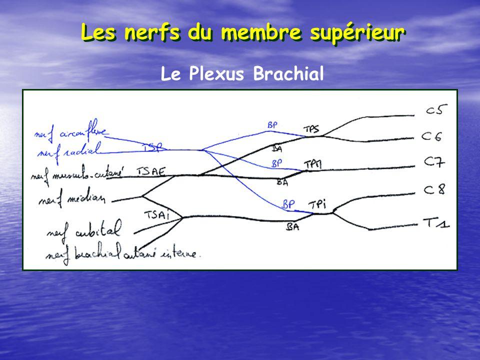Les nerfs du membre supérieur Le Plexus Brachial