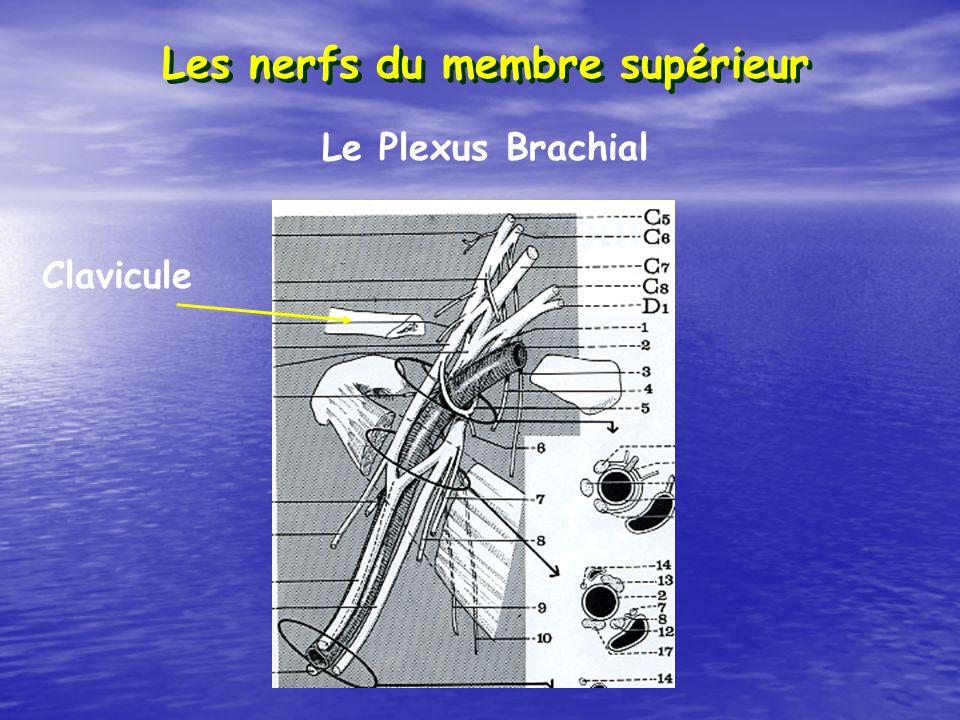 Les nerfs du membre supérieur Le Plexus Brachial Clavicule