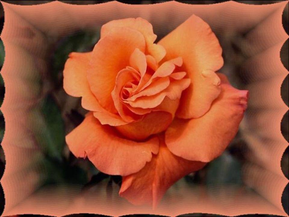 Le cœur a aussi ses faiblesses… Il peut se saouler jusqu à l ivresse… S il s agite dans sa frayeur… Gâtez-le par des douceurs… S il défaillit par ses bêtises… Offrez-lui une Rose, il se revitalise…