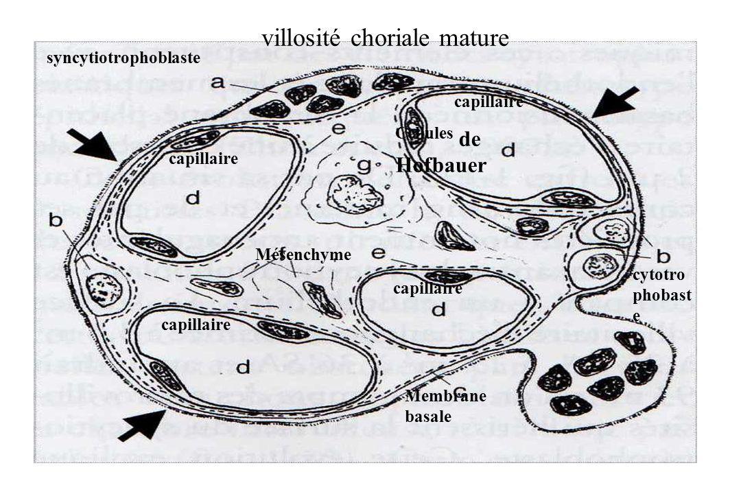 syncytiotrophoblaste capillaire Mésenchyme Cellules de Hofbauer capillaire Membrane basale cytotro phobast e villosité choriale mature