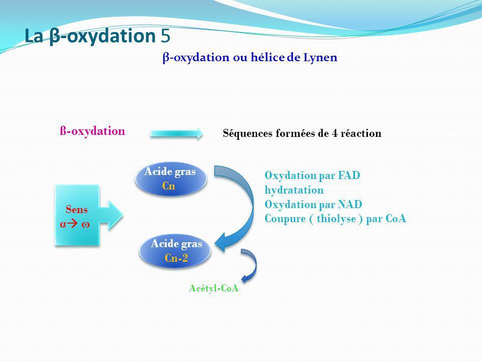 La β-oxydation 5 β-oxydation ou hélice de Lynen ß-oxydation Séquences formées de 4 réaction Oxydation par FAD hydratation Oxydation par NAD Coupure (