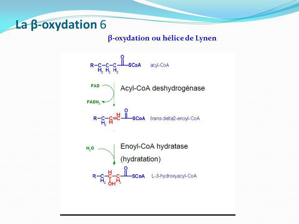 La β-oxydation 6 β-oxydation ou hélice de Lynen