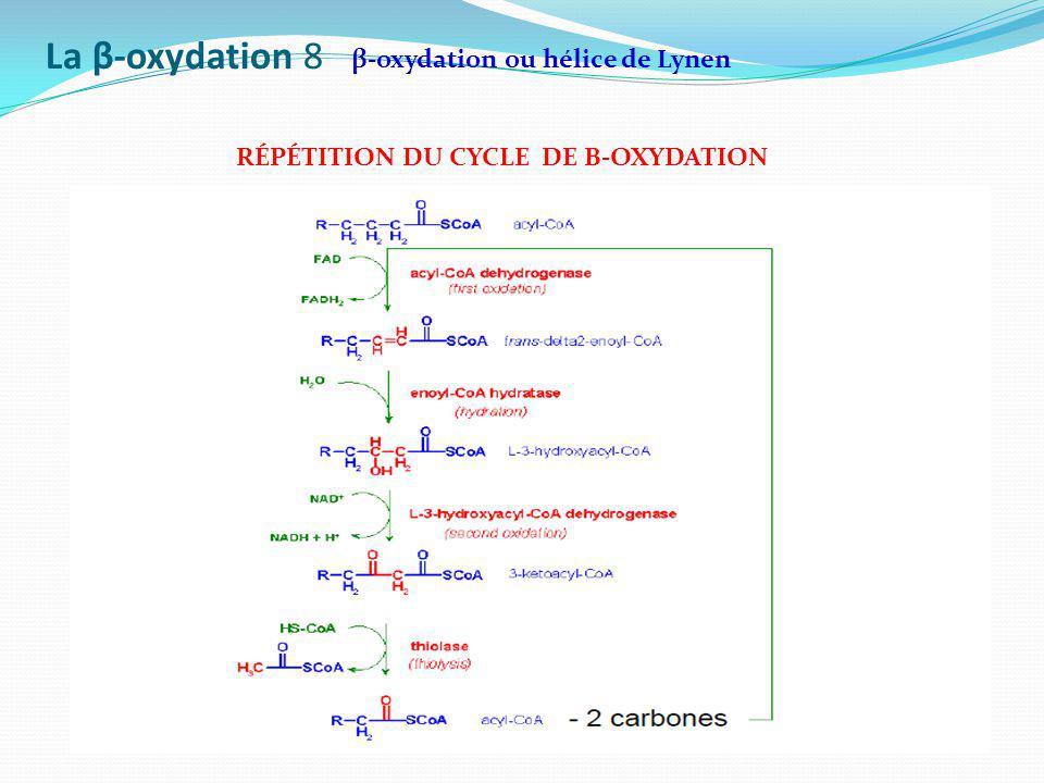 La β-oxydation 8 β-oxydation ou hélice de Lynen RÉPÉTITION DU CYCLE DE Β-OXYDATION