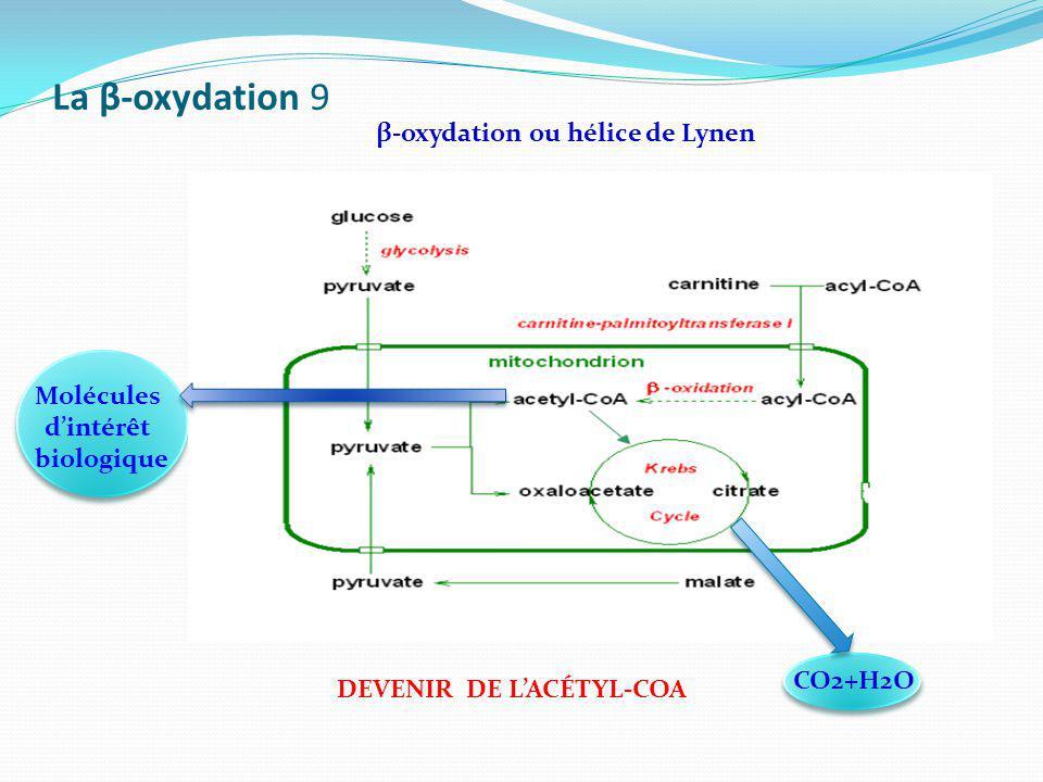 La β-oxydation 9 β-oxydation ou hélice de Lynen DEVENIR DE LACÉTYL-COA Molécules dintérêt biologique CO2+H2O