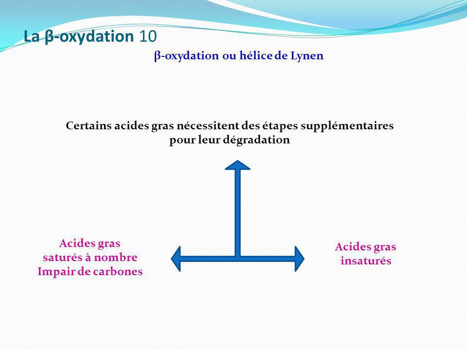 La β-oxydation 10 β-oxydation ou hélice de Lynen Certains acides gras nécessitent des étapes supplémentaires pour leur dégradation Acides gras insatur