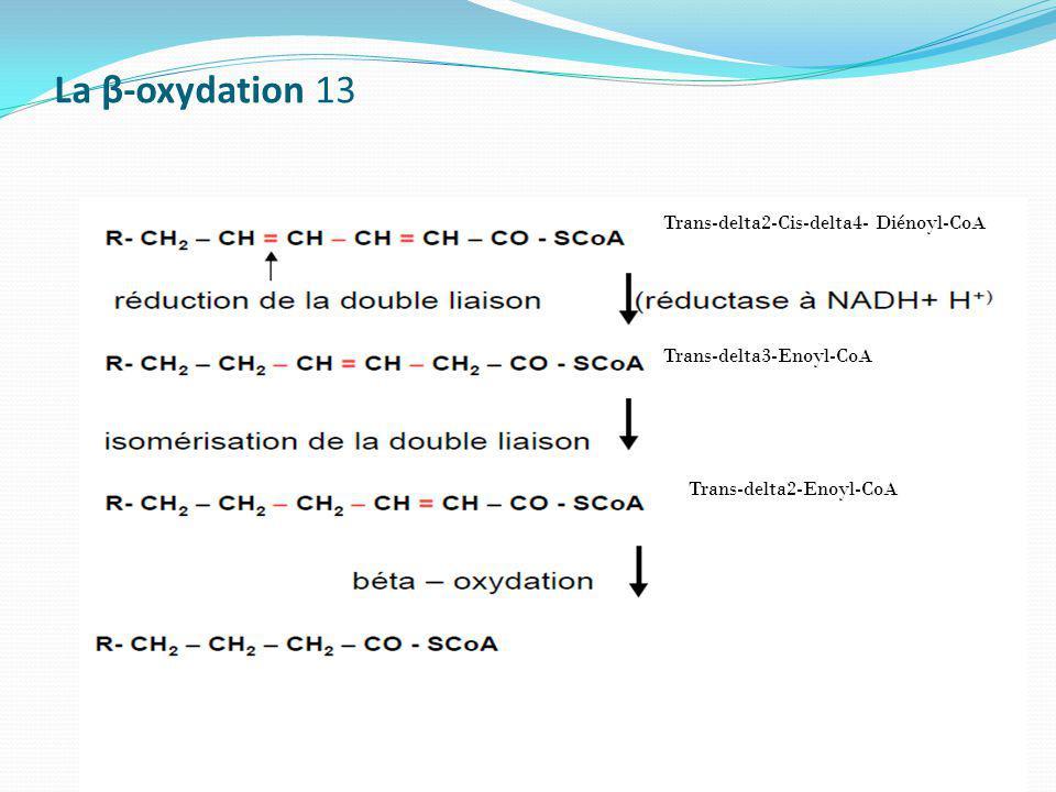 La β-oxydation 13 Trans-delta2-Cis-delta4- Diénoyl-CoA Trans-delta3-Enoyl-CoA Trans-delta2-Enoyl-CoA