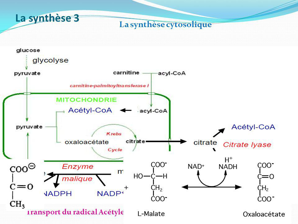 La synthèse 3 Transport du radical Acétyle de la matrice dans le cytosol par le citrate La synthèse cytosolique