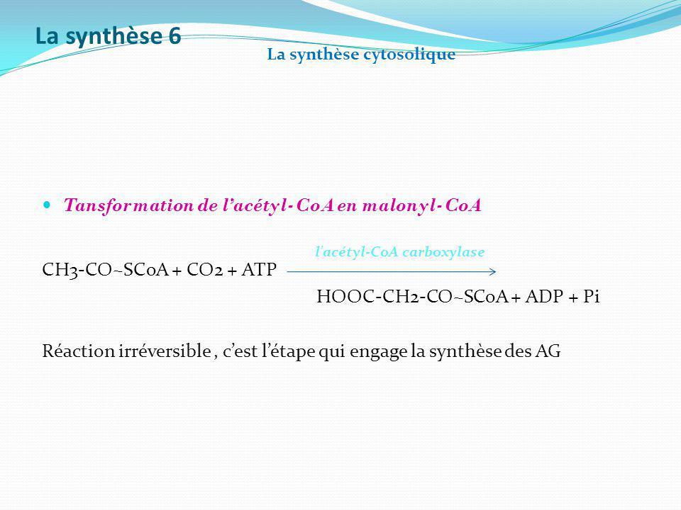 La synthèse 6 Tansformation de lacétyl-CoA en malonyl-CoA CH3-CO~SCoA + CO2 + ATP HOOC-CH2-CO~SCoA + ADP + Pi Réaction irréversible, cest létape qui e