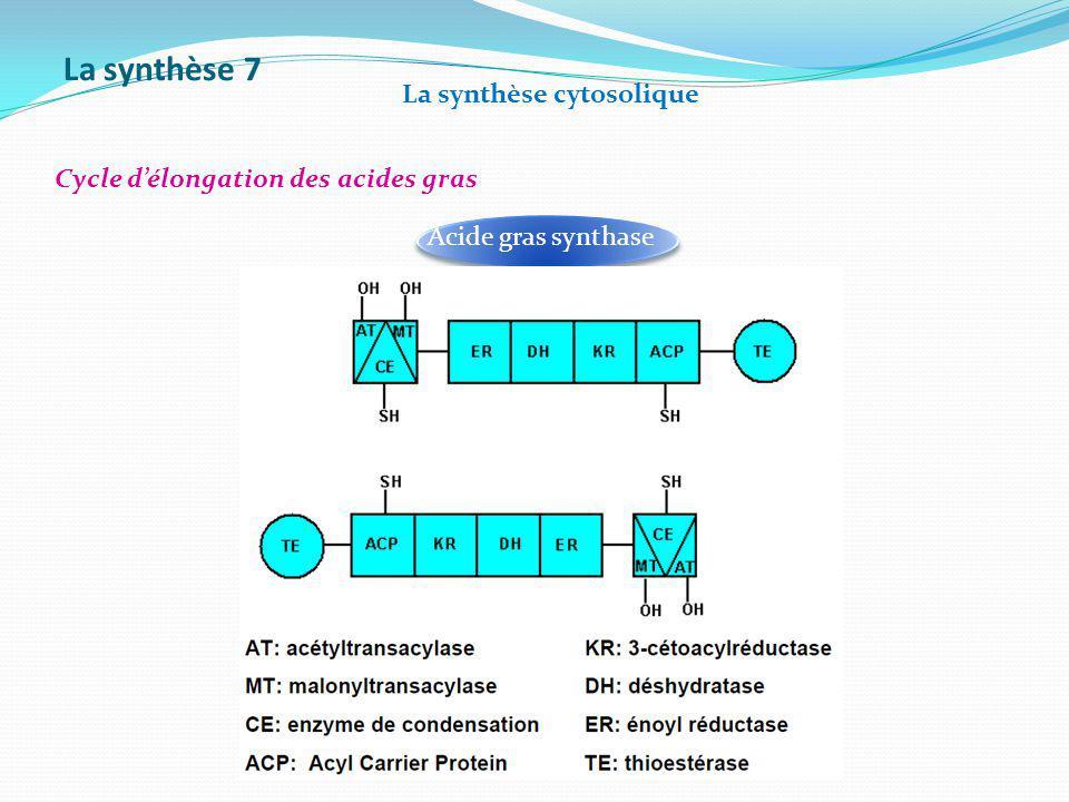 La synthèse 7 La synthèse cytosolique Cycle délongation des acides gras Acide gras synthase