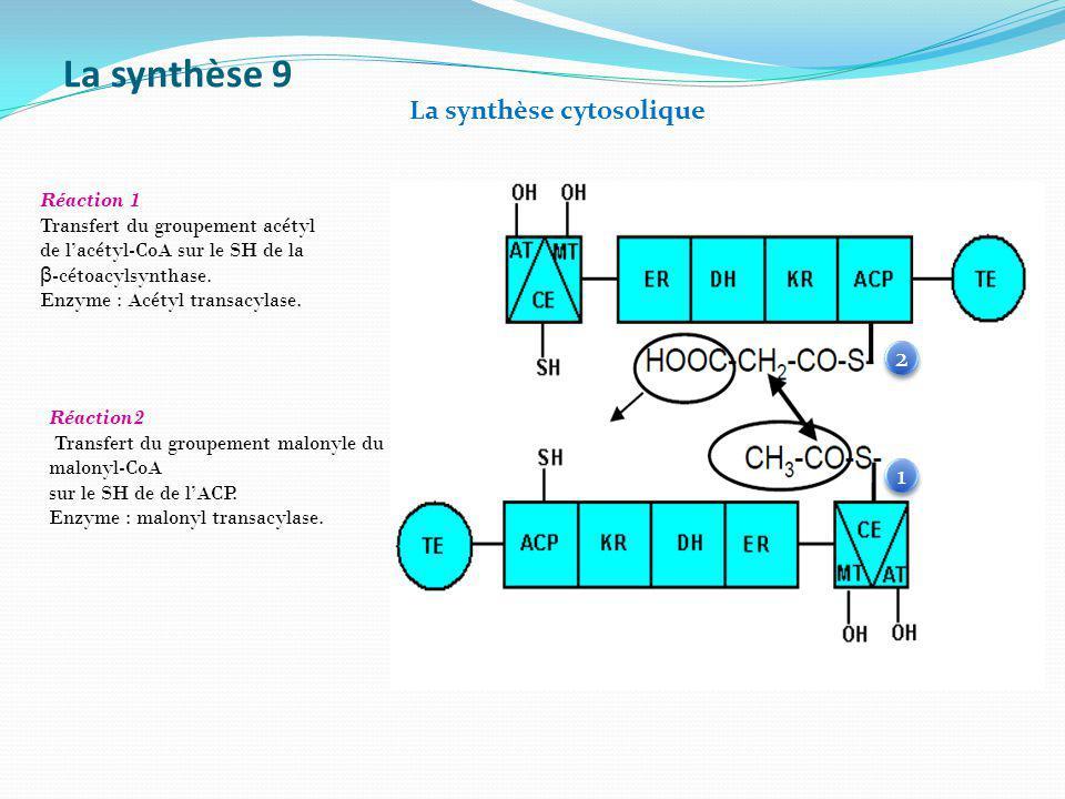 La synthèse 9 Réaction 1 Transfert du groupement acétyl de lacétyl-CoA sur le SH de la β -cétoacylsynthase. Enzyme : Acétyl transacylase. Réaction2 Tr