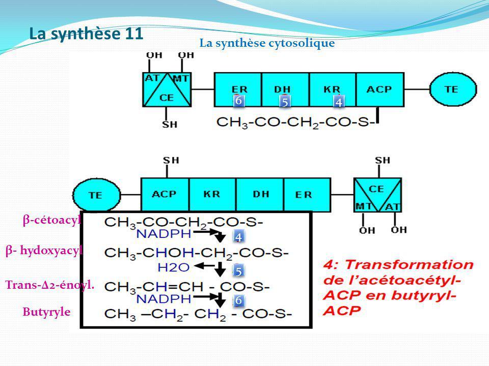 La synthèse 11 6 6 5 5 4 4 4 4 5 5 6 6 β- hydoxyacyl Trans-Δ2-énoyl. Butyryle β-cétoacyl La synthèse cytosolique