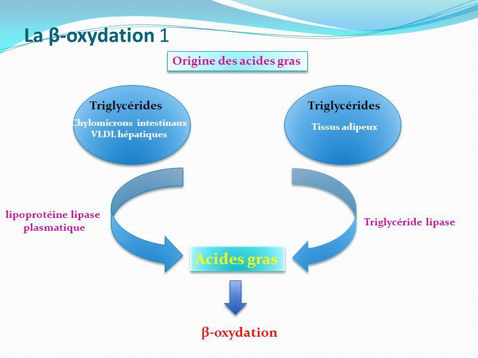 La β-oxydation 1 Acides gras Triglycérides Chylomicrons intestinaux VLDL hépatiques lipoprotéine lipase plasmatique Triglycérides Tissus adipeux Trigl