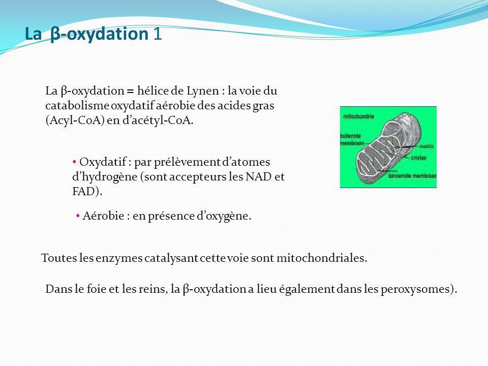 La β-oxydation 1 La β-oxydation = hélice de Lynen : la voie du catabolisme oxydatif aérobie des acides gras (Acyl-CoA) en dacétyl-CoA. Oxydatif : par