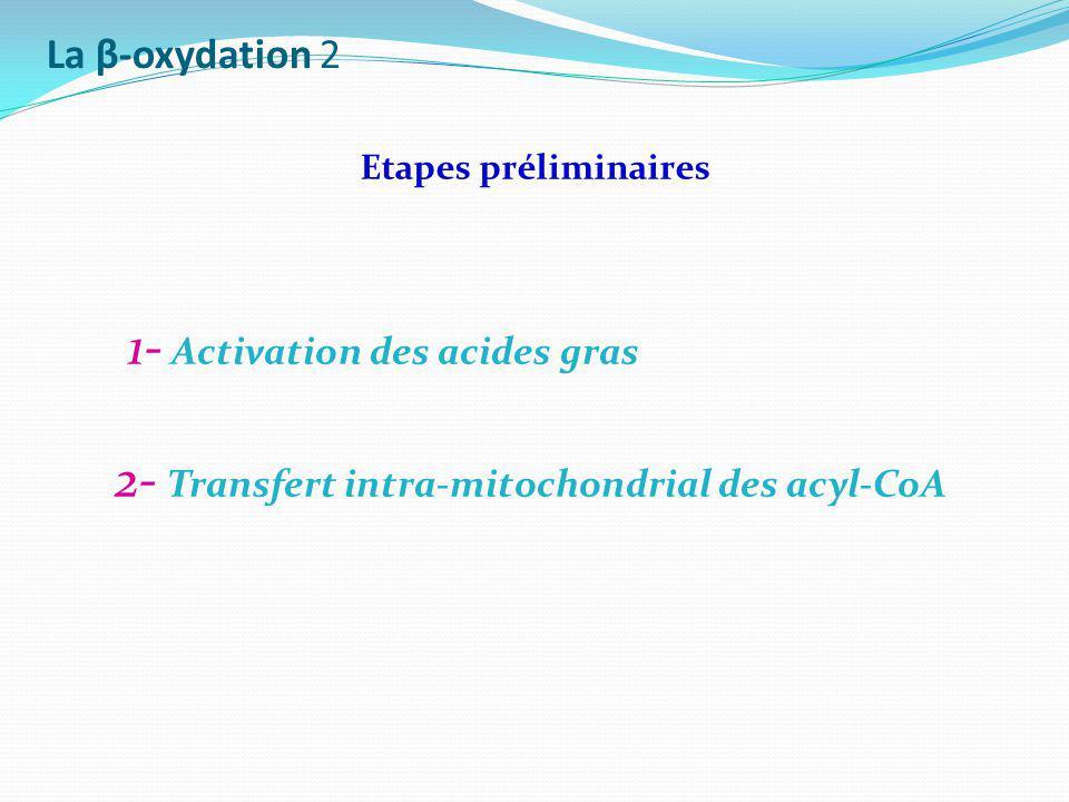 La β-oxydation 2 1- Activation des acides gras 2- Transfert intra-mitochondrial des acyl-CoA Etapes préliminaires