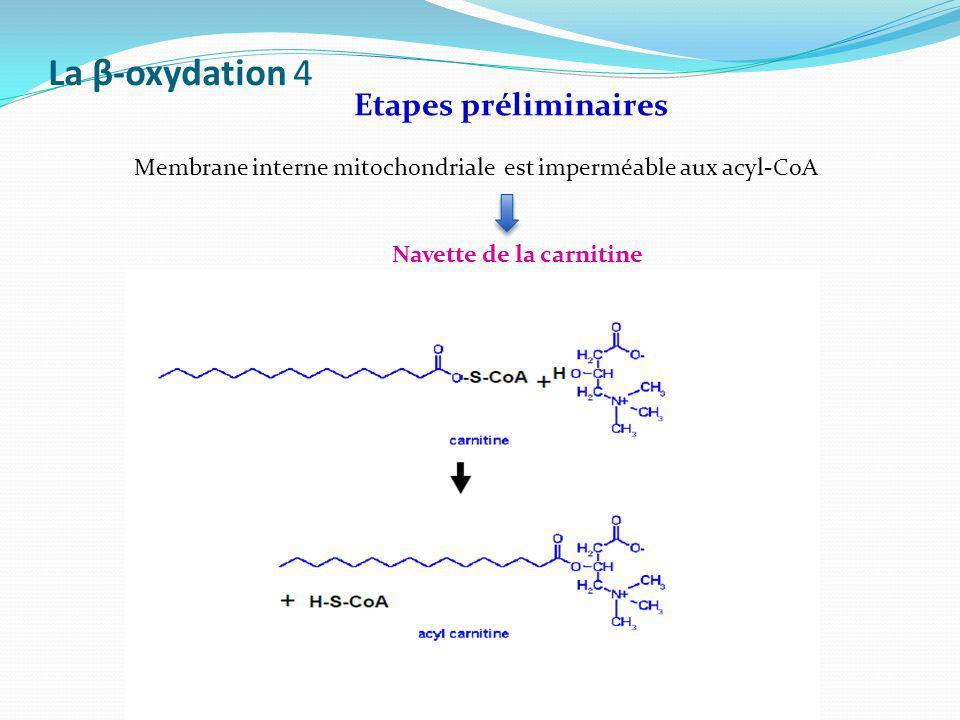 La β-oxydation 4 Etapes préliminaires Membrane interne mitochondriale est imperméable aux acyl-CoA Navette de la carnitine