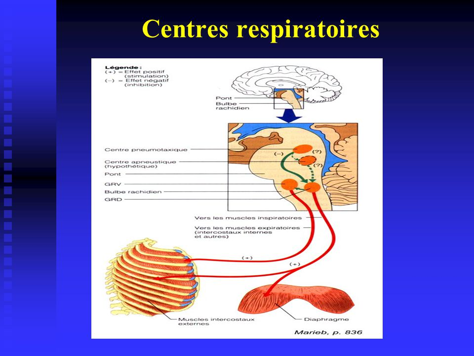 Au repos, Ventilation minute = 6 l.mn -1 Ventilation mn = Vt x Fr Vt: Volume courant, 0,5 l Fr: Fréquence respiratoire, 12 AmplituderespiratoireRythmerespiratoire Centres respiratoires du bulbe rachidien et pont Régulation de la ventilation au repos