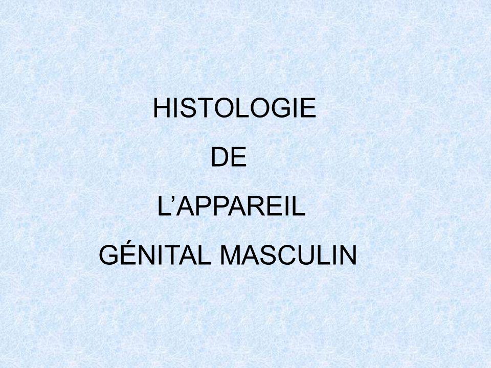 HISTOLOGIE DE LAPPAREIL GÉNITAL MASCULIN
