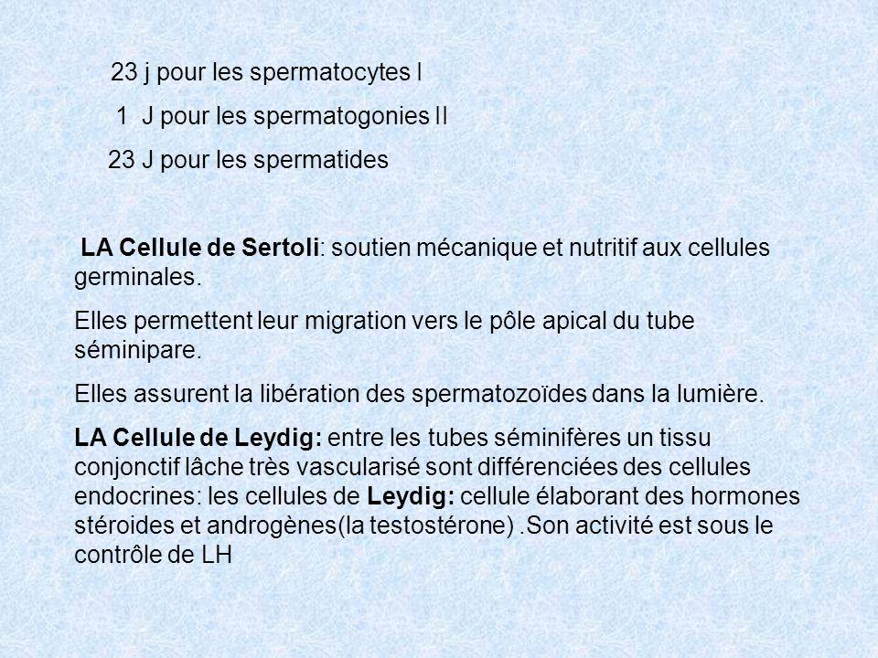 23 j pour les spermatocytes I 1 J pour les spermatogonies II 23 J pour les spermatides LA Cellule de Sertoli: soutien mécanique et nutritif aux cellul
