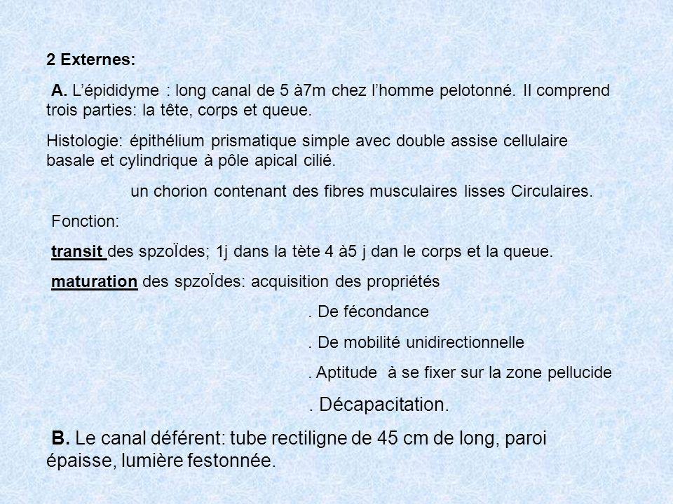 2 Externes: A. Lépididyme : long canal de 5 à7m chez lhomme pelotonné. Il comprend trois parties: la tête, corps et queue. Histologie: épithélium pris