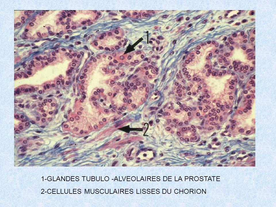 1-GLANDES TUBULO -ALVEOLAIRES DE LA PROSTATE 2-CELLULES MUSCULAIRES LISSES DU CHORION