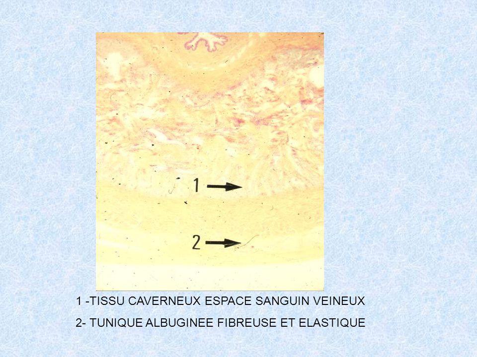 1 -TISSU CAVERNEUX ESPACE SANGUIN VEINEUX 2- TUNIQUE ALBUGINEE FIBREUSE ET ELASTIQUE