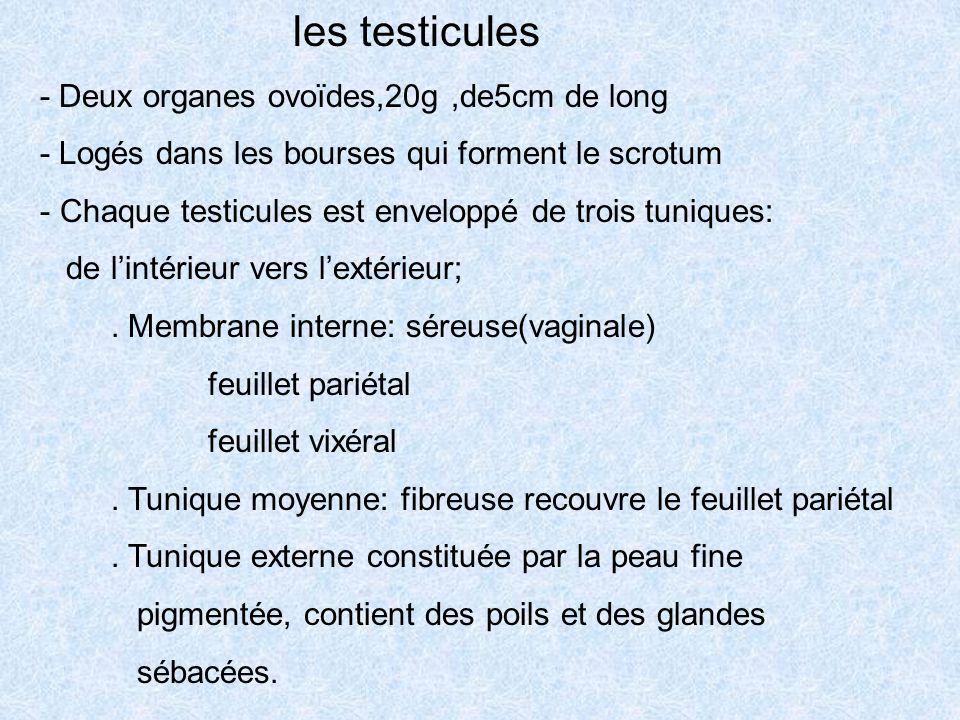 les testicules - Deux organes ovoïdes,20g,de5cm de long - Logés dans les bourses qui forment le scrotum - Chaque testicules est enveloppé de trois tun