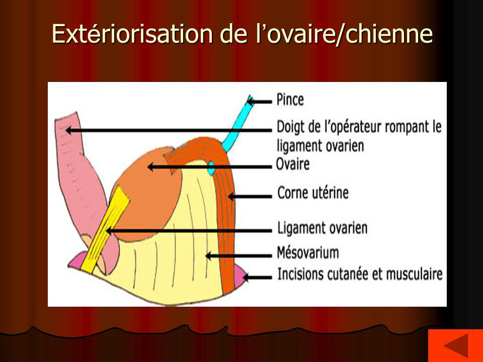 Ext é riorisation de l ovaire/chienne