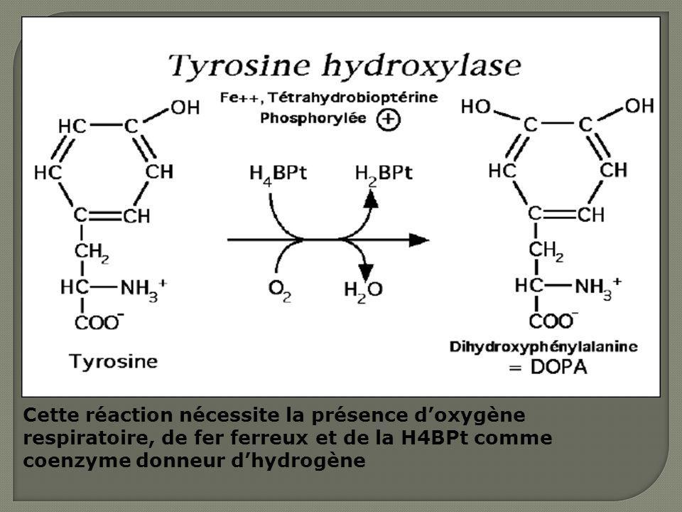 Cette réaction nécessite la présence doxygène respiratoire, de fer ferreux et de la H4BPt comme coenzyme donneur dhydrogène