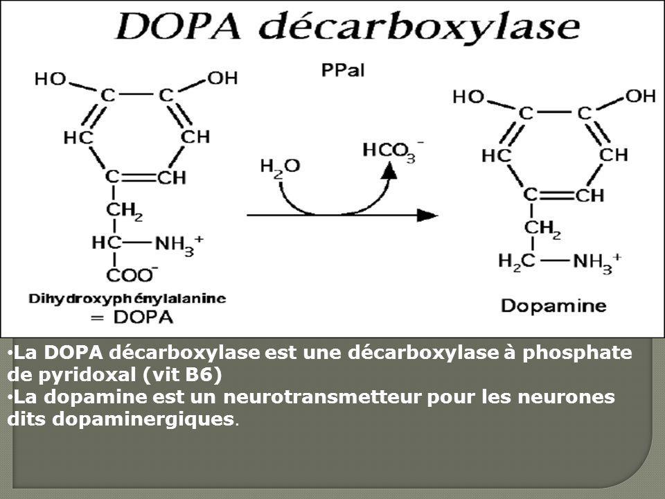 La DOPA décarboxylase est une décarboxylase à phosphate de pyridoxal (vit B6) La dopamine est un neurotransmetteur pour les neurones dits dopaminergiq